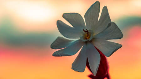 Single white flower proudly stands at the sunset golden hour.