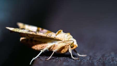 Large european moth sleeping on the dark wooden bench