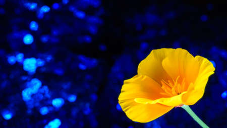 Single ceandine flower of poppy family. 5 large yellow petals around delicate orange stamens. Flower native to europe and asia. Glittering blue bokeh background.
