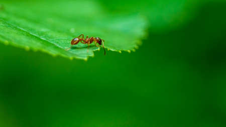 Single small ant walking on the leaf. Scouting neighborhood looking for food. Small european ant.