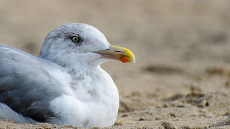 Young European Herring Gull in non-breeding plumage stands near the ocean. Horizontal wide crop.