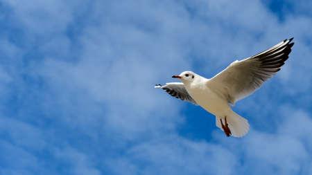 Single young black headed gull (Chroicocephalus ridibundus) flying over blue sky. Single lonely bird. Blurred baltic sea sky background. 版權商用圖片