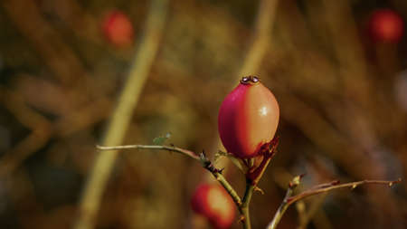 Rosa canina commonly known as dog rose red fruits visible on the bush on late autumn evening