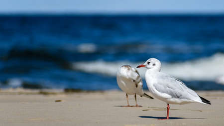 pair of black headed gulls (Chroicocephalus ridibundus) walking over baltic sea shore. White fluffy plumage with deep red legs and yellow beak. Black eyed bird looking for food.