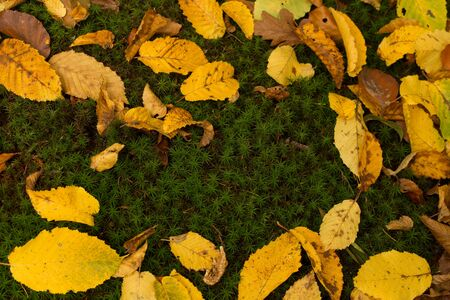 Photo of ground full of moss and yellow and brown beech leafs.