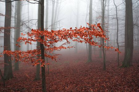 Foggy forest full of trunks and red leaves on branches and on the ground Imagens