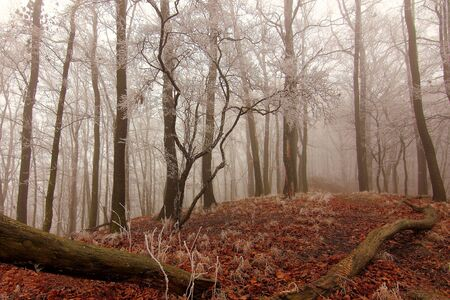 Foggy forest full of trunks and red leaves on branches and on the ground