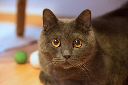 Gato británico de pelo corto, acercamiento de la cabeza con ojos amarillos