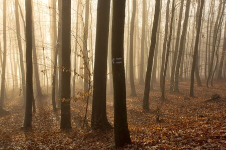 Foggy forest full of trunks and red leaves on branches and on the ground, foggy background