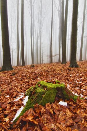 Tree stump covered with moss among red leaves, foggy background in forest 스톡 콘텐츠