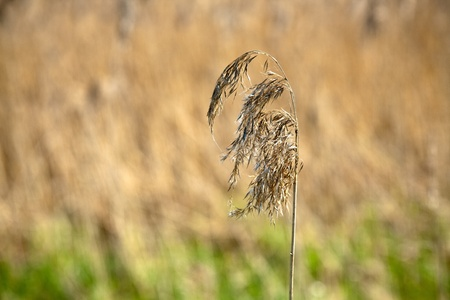 elapsed: dry grass ear remained sadness of elapsed time