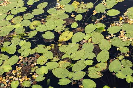 upcoming: on the water among water lilies have already seen the upcoming autumn Stock Photo