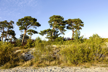 pine trees: Sand dunes and pine trees of Bay of Puck at the Baltic Sea coast in Jurata in Poland