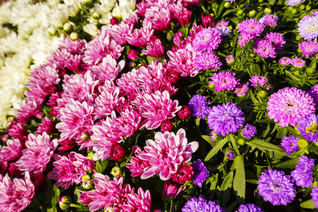 put up: Asters flower put up for sale in a large bouquet