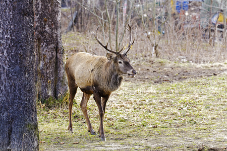 midst: The deer stopped in the midst of green areas in the city of Zakopane in Poland