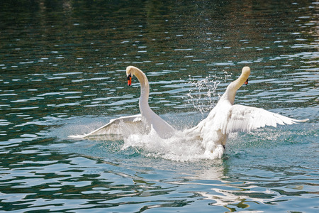 dominant: Two dominant swans fighting for position on the waters of Reuss river in the city of Lucerne, Switzerland. Stock Photo