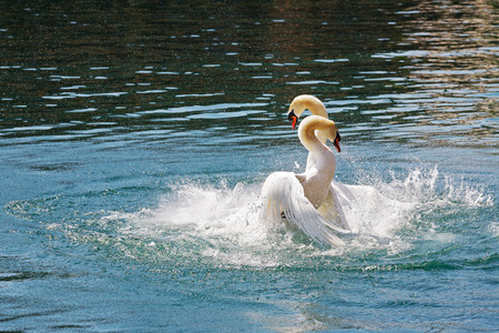 fittest: Two dominant swans fighting for position on the waters of Reuss river in the city of Lucerne, Switzerland. Stock Photo