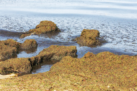 occurs: Amazing landscape formed on the Baltic sea shore by a rotten seaweeds, it is the result of pollution of the coast that usually occurs in late spring and summer