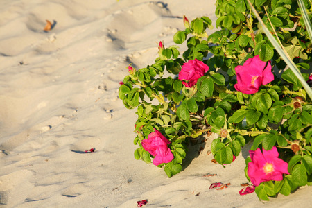 Red beach roses grow on sand dunes on the beach can be seen in the light of the setting sun in Kolobrzeg in Poland Stock Photo
