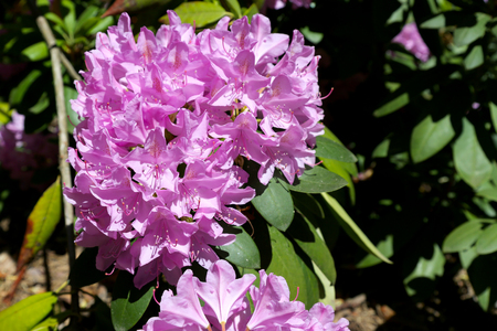 The rhododendron flower it is a bunch of smaller flowers that make a wonderful bouquet