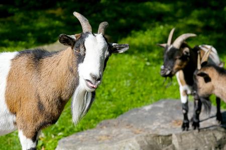 One goat is close and two other goats are slightly further