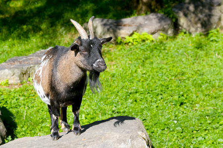 The goat stands on the stone and looks ahead.