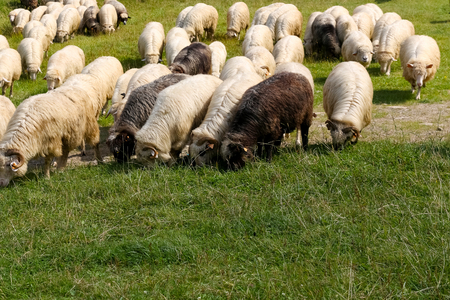 The sheep are fed on grass in the meadow and you can see such views near Zakopane in Poland. Stock fotó