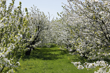 Blooming spring orchard. In many places in Poland such beautiful nature in spring can be admired