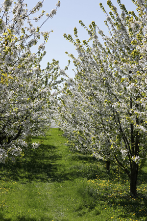 Orchard with a flowering fruit trees. Such a beautiful nature can be admired in spring in many places in Poland
