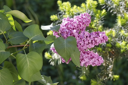 Lilac flowers bloom in the spring and are surrounded by a lot of greenery. Standard-Bild