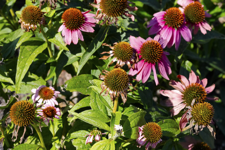 Coneflowers which dry out in the natural environment can be seen during late summer
