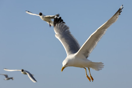 Hungry seagulls look for food during the flight. This can be seen in the blue sky in Kolobrzeg , Poland.