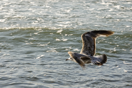 A seagull flies over the water. This view was observed over the waters of the Baltic Sea near the beach in Kolobrzeg, Poland. 版權商用圖片