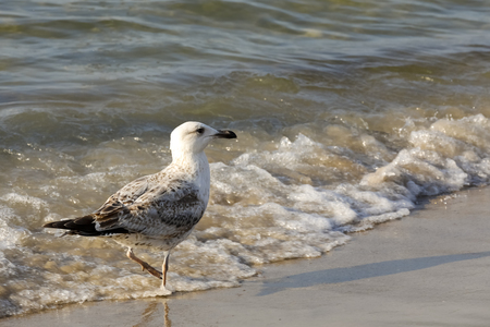Baltic Sea wave and one seagull. Cold waters of the Baltic Sea, sandy beaches and gulls that often visit these areas, which is easily observed in Kolobrzeg in Poland. 版權商用圖片