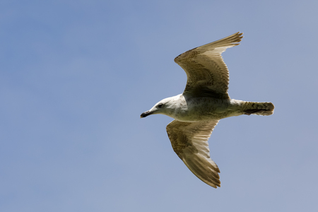 A fast flight of a lonely seagull was observed in the blue sky above the beach in Kolobrzeg, Poland. 版權商用圖片