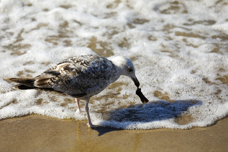 A seagull who is standing in shallow water grabs something with his beak. It is observed at the Baltic Sea coast in Poland in Kolobrzeg