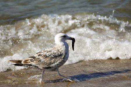 A seagull with something in his beak goes along the seashore. It is observed on the coast of the Baltic Sea in Poland in Kolobrzeg