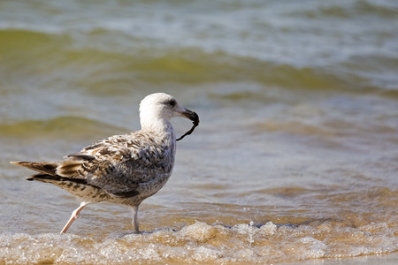 A seagull goes along the seashore and keeps something in its beak. It is observed at the Baltic Sea coast in Poland in Kolobrzeg