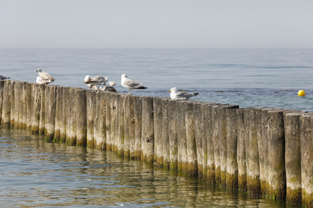 Birds are sitting on a wooden breakwater. Seagulls are often a wild bird found off the coast of the Baltic Sea, in this case they were observed at the beach in Kolobrzeg in Poland.