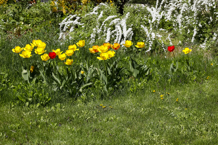 The colorful flowers decorate the garden bed. On the green background of the plants, tulip colors complement the white of the other flowers.