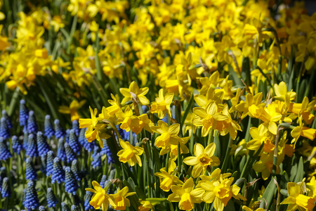 Yellow and blue flowers form the background for the spring season. The yellow color of the daffodils dominates here.