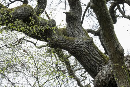 An old tree with its thick branches and twigs is seen on the cloudy sky