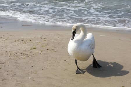 There is a swan by the sea.  The sandy coast of the Baltic Sea in Kolobrzeg in Poland is a place where these birds can be often observed.