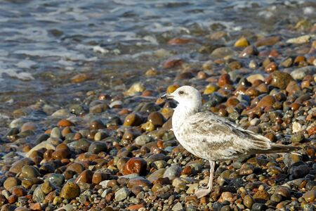 One wild bird observed on a wild Baltic beach. This gull was observed in Kolobrzeg, Poland.