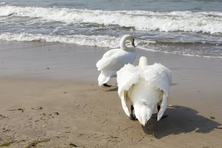 Two swans look to the sea. The sandy beach of the Baltic Sea in Kolobrzeg in Poland is a place where these birds are often observed.