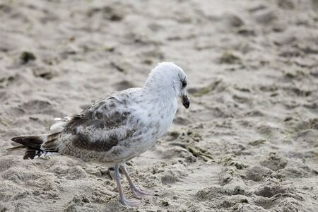 A sandy beach with only one seagull walking on it. This bird was observed on the beach in Kolobrzeg in Poland.