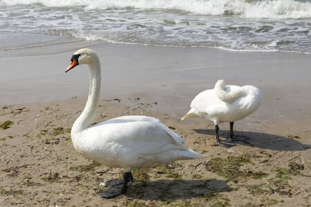 There are swans by the sea. The sandy beach of the Baltic Sea in Kolobrzeg in Poland is a place where you can often observe these birds.