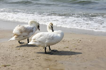 Swans are by the sea. The sandy beach of the Baltic Sea in Kolobrzeg in Poland is a place where these birds can be often observed. 스톡 콘텐츠