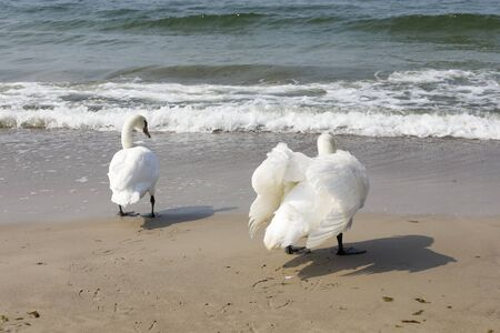 Swans are on the Baltic Sea. The sandy beach of the Baltic Sea in Kolobrzeg in Poland is a place where these birds can be often observed.