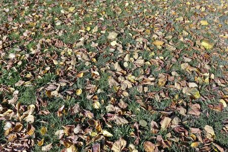 The green lawn is covered with leaves that probably fell down from the nearby trees during autumn season.